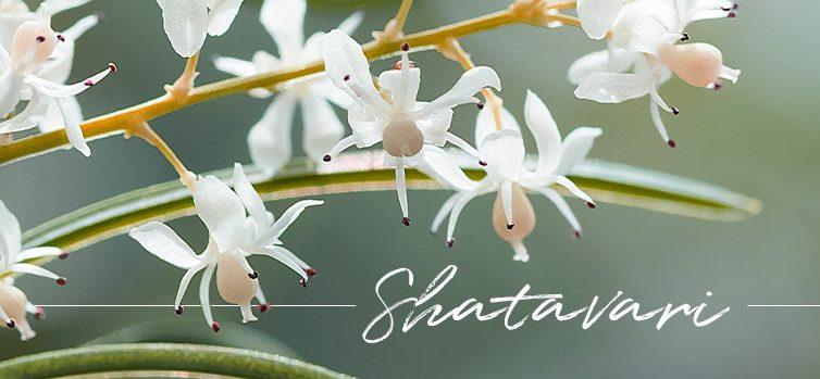 Shatavari Feature Final