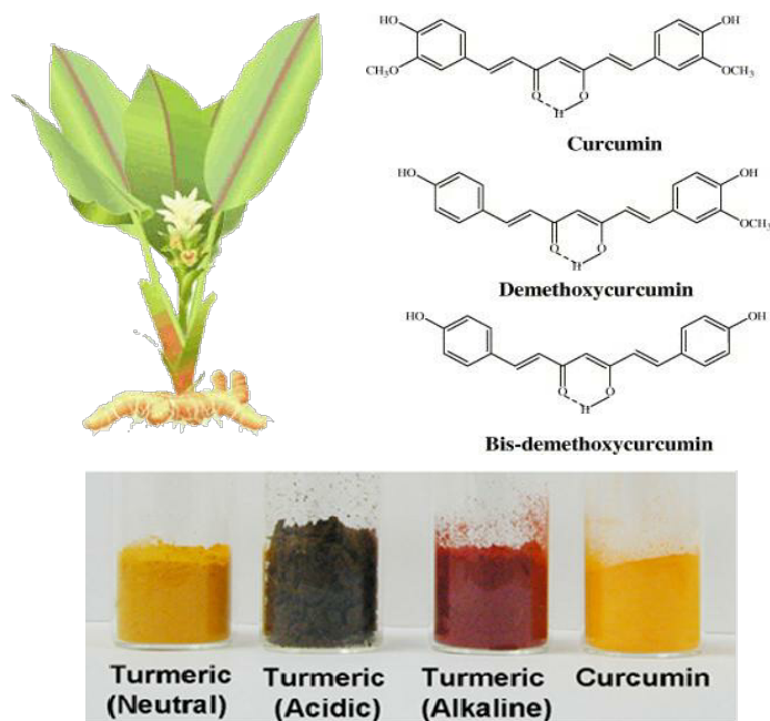 Top Left Curcuma Longa with flower and rhizome Turmeric Curcuma longa L